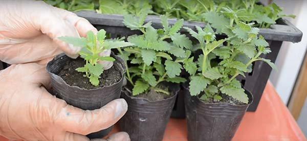 Посев семян вербены на рассаду, выращивание и уход