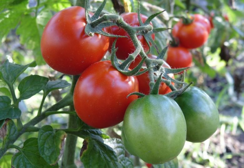 Низкорослые томаты (помидоры) для открытого грунта – лучшие сорта помидоров без пасынкования