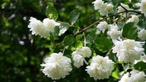 Садовый жасмин (чубушник) – уход осенью и подготовка к зиме
