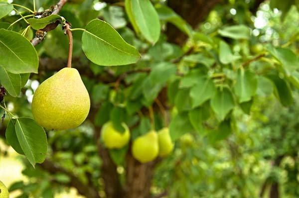 Правила посадки груши весной и осенью