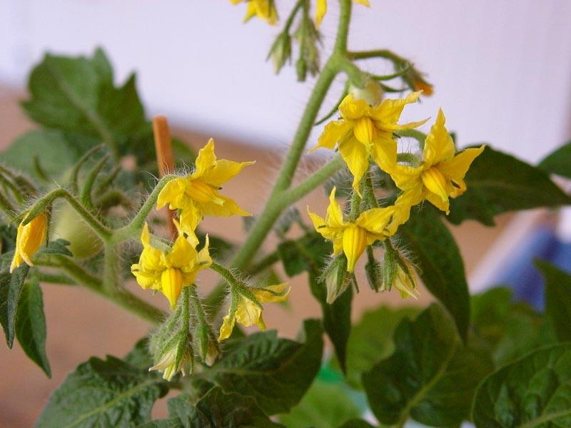 Осыпаются цветы на помидорах что делать