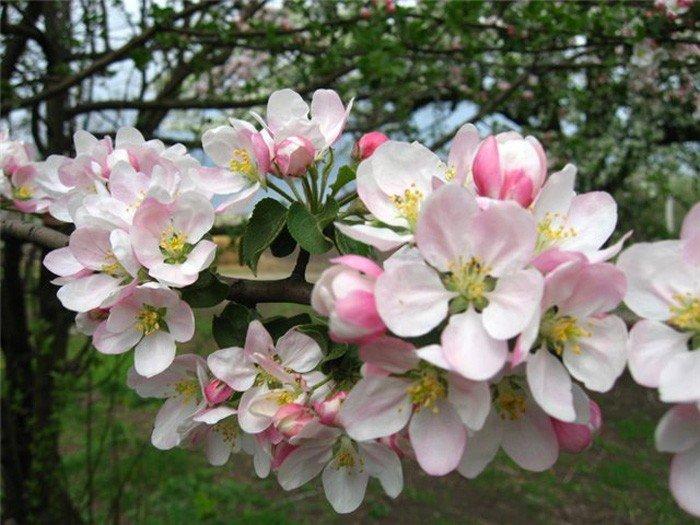 Чем удобрять яблони весной