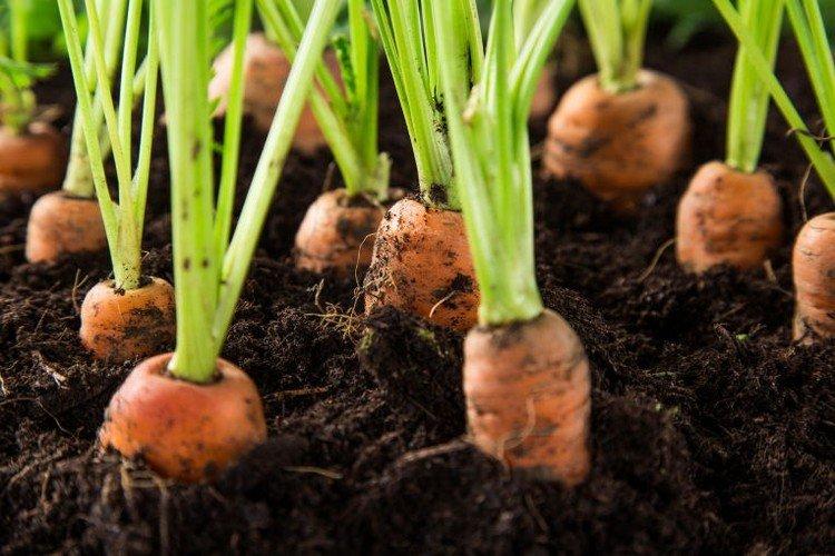 Морковь под зиму посадка, сорта
