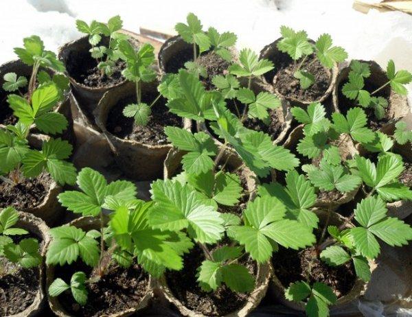 Посадка клубники семенами на рассаду в квартире
