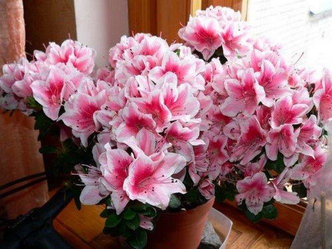 Цветок азалия как ухаживать в домашних условиях?