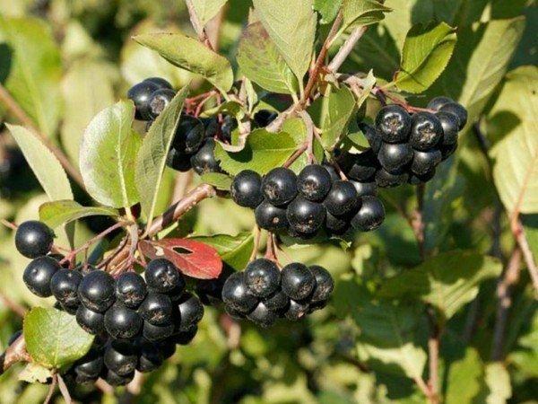 Рябина черноплодная — уход осенью и подготовка к зиме: обрезка и укрытие
