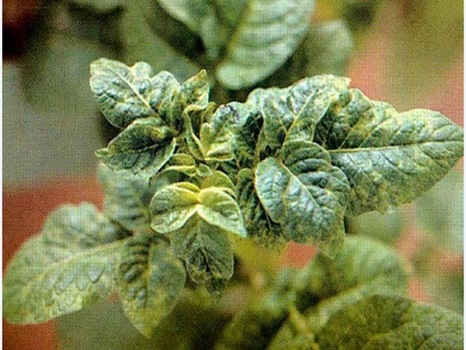 Почему не растет картофельная ботва