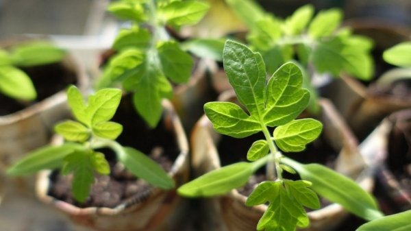Вырастить рассаду помидоров из семян пошагово