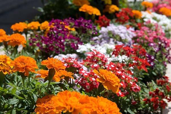 Неприхотливые однолетние цветы для садовой клумбы, цветущие всё лето