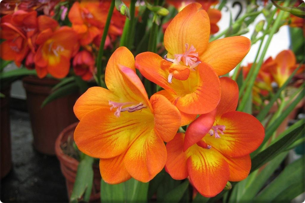 Фрезия цветок посадка уход