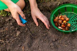 Как правильно обработать лук перед посадкой от болезней и вредителей