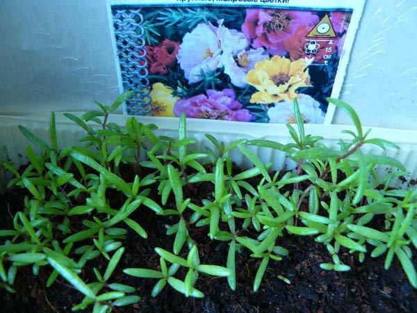 Посадка портулака на рассаду: выращивание и уход