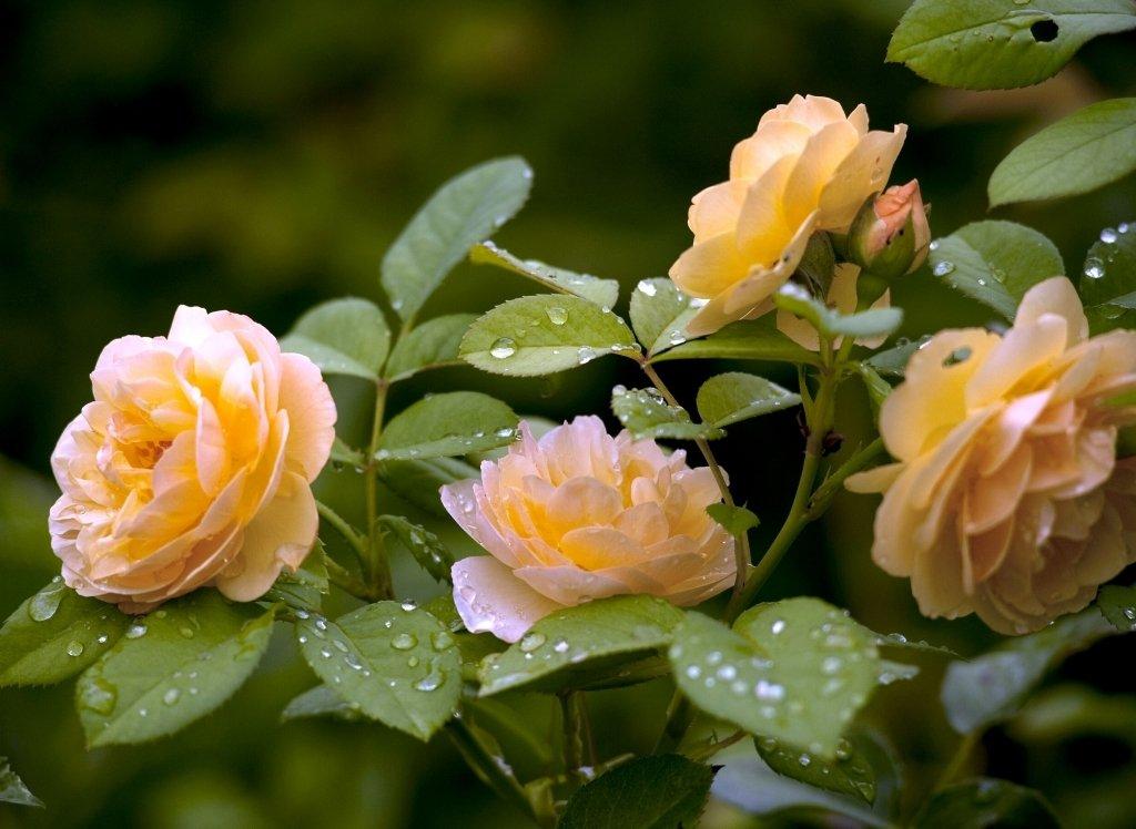 Обрезка роз весной для начинающих видео