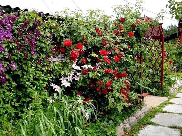 Плетущиеся и вьющиеся многолетние растения для озеленения сада