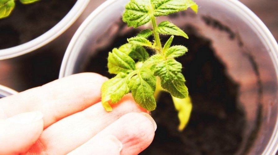 Рассада помидор почему желтеют верхние листья?