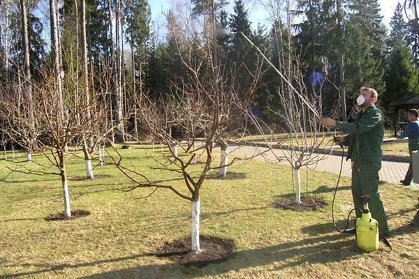 Весенний уход за абрикосом обработка, подкормка, обрезка