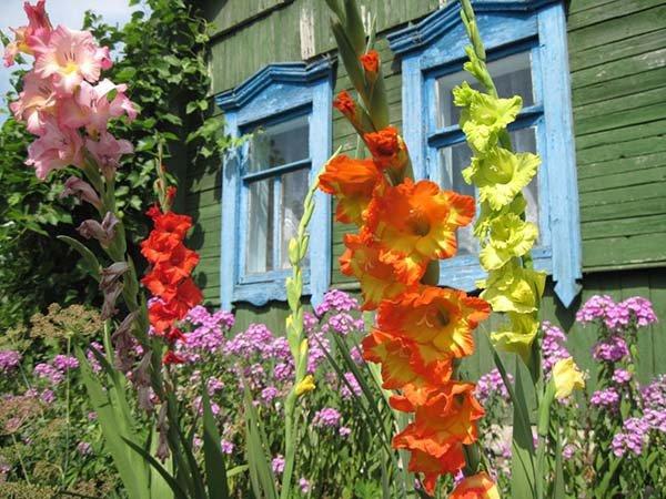 Посадка гладиолуса весной в открытый грунт: особенности ухода и выращивания
