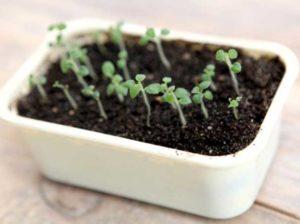 Выращивание картофеля из семян: агротехника посадки и ухода