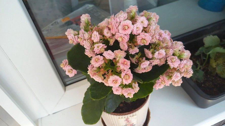 Каланхоэ цветущий как ухаживать чтобы цвел?