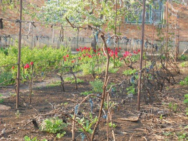 Подвязка винограда весной