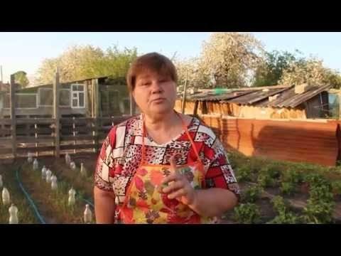 Юлия Миняева выращивание арбузов