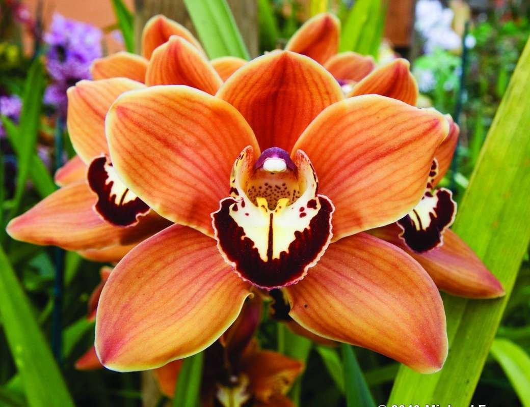 Орхидея Цимбидиум - фото, уход в домашних условиях