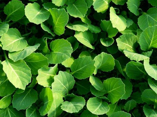 Как вырастить рассаду ранней капусты чтобы она не вытягивалась