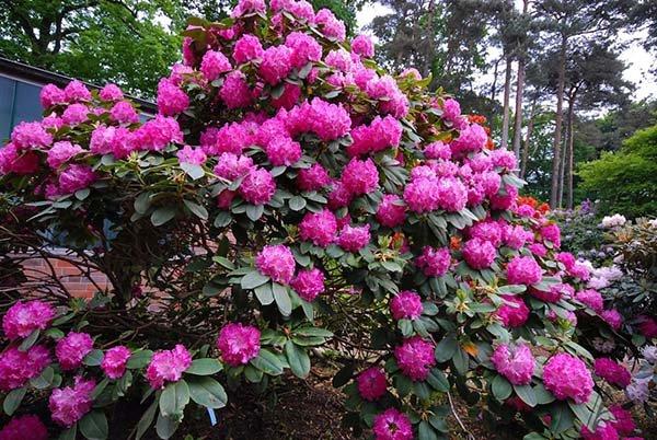 Посадка рододендронов весной и осенью: уход и выращивание в открытом грунте