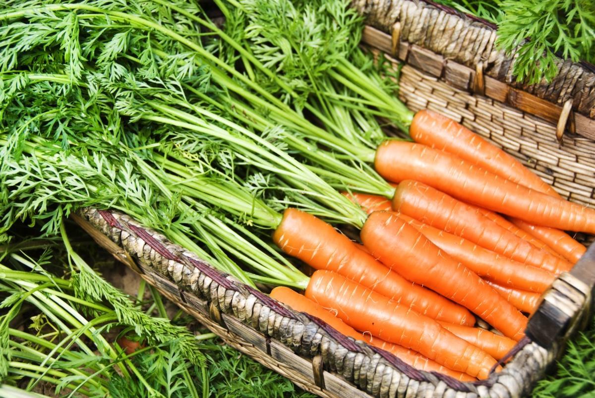 Как сохранить морковь на зиму в подполе?