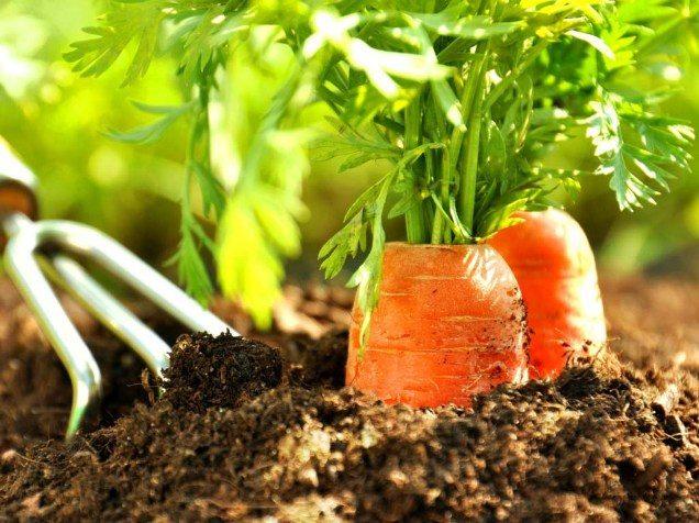 Как посадить морковь чтобы не прореживать, советы и видео