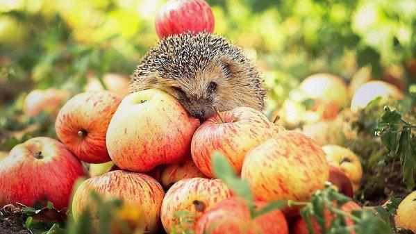 Подкормка и удобрение яблонь весной