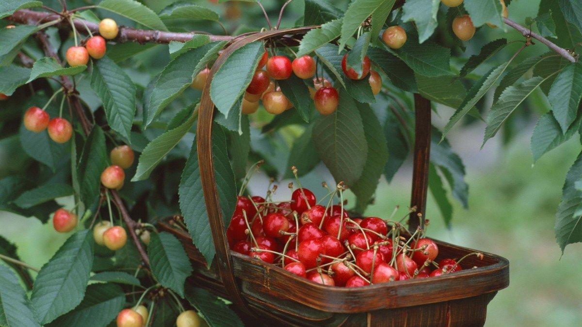 Обрезка фруктовых деревьев весной