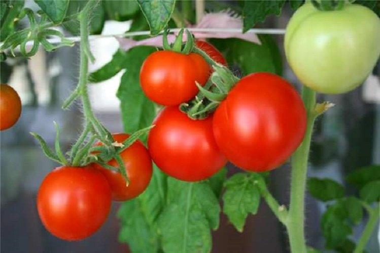 Как увеличить урожай помидоров