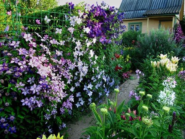 Посадка клематиса весной и осенью в открытый грунт