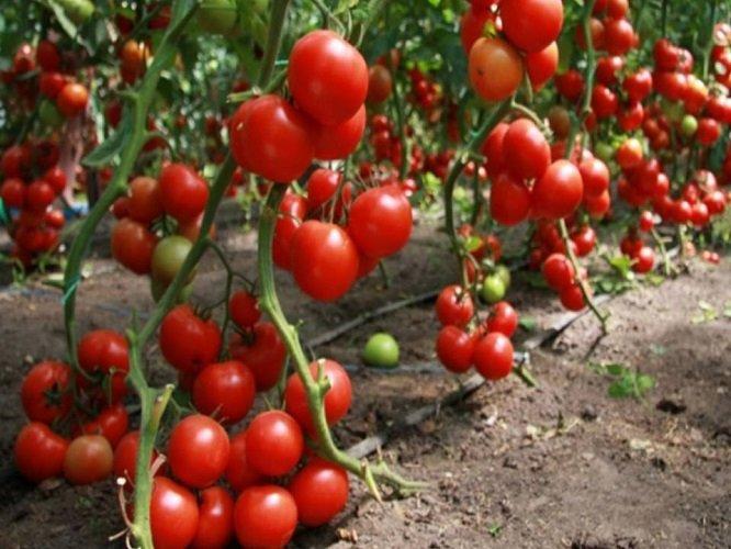 Как ухаживать за помидорами чтобы был хороший урожай в открытом грунте