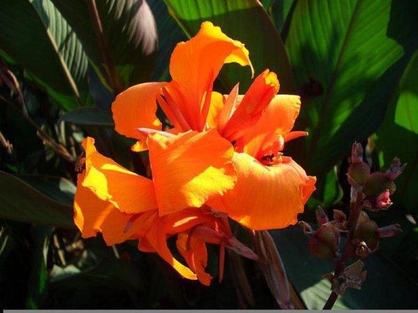 Канна цветок уход в домашних условиях фото