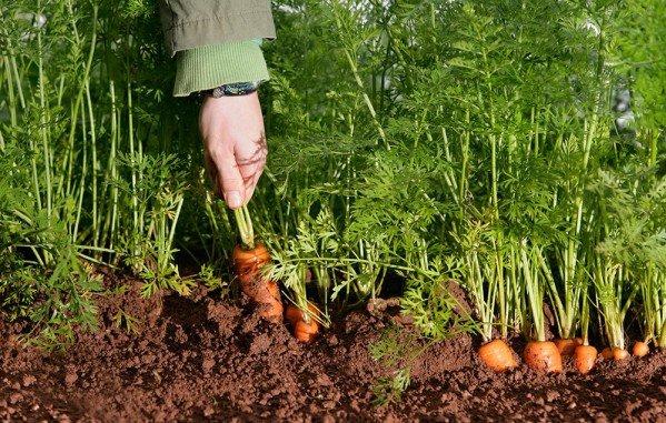 Как посадить морковь семенами в открытый грунт весной