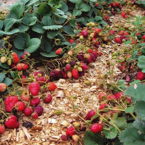 Ремонтантная земляника – способы выращивания и ухода в домашних условиях