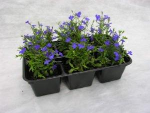 Посадка семян лобелии на рассаду: выращивание и уход