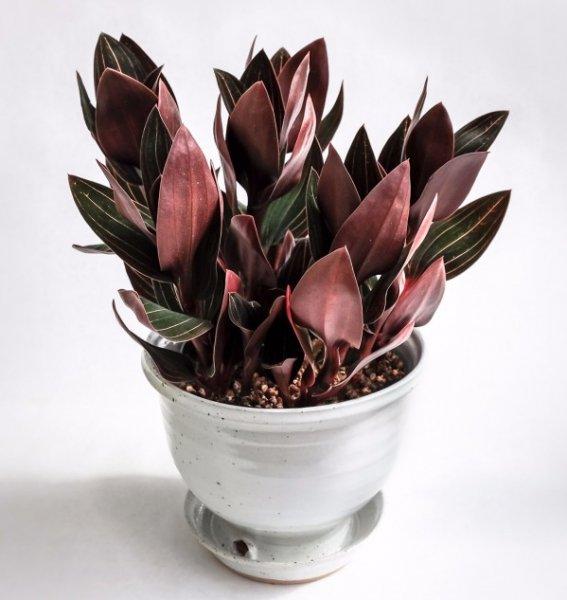 Орхидея Лудизия: всё об уходе, посадке и размножении в домашних условиях