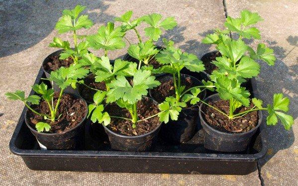 Как вырастить корневой сельдерей: от рассады до открытого грунта