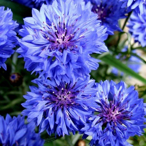 Васильки цветы фото