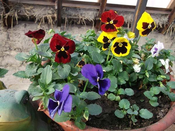 Посадка Виолы (Анютиных глазок) семенами на рассаду: выращивание и уход в домашних условиях