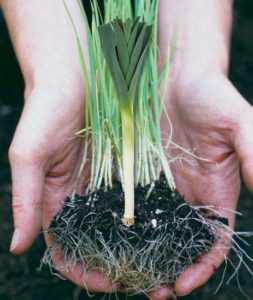 Посев лука порея на рассаду и в открытый грунт