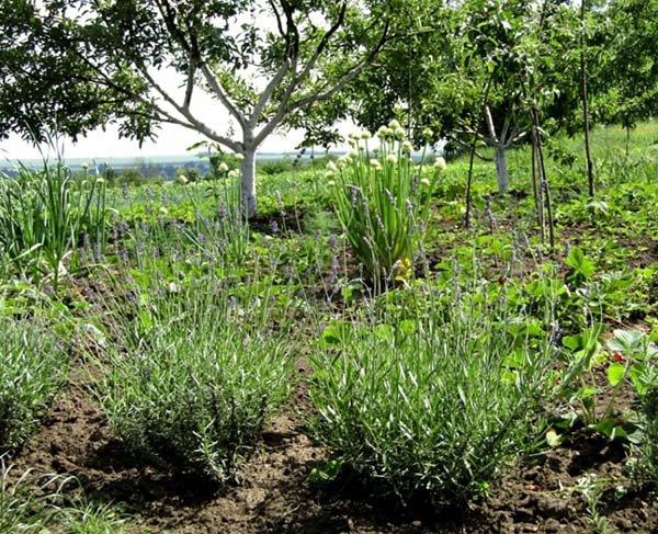 Посадка лаванды черенками и семенами, выращивание и уход
