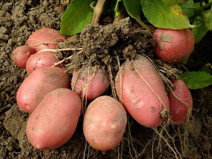 Как удобрить землю под картофель весной