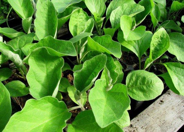 Посадка семян баклажан на рассаду: сроки и правила