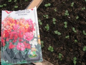 Посадка львиного зева на рассаду: выращивание и уход