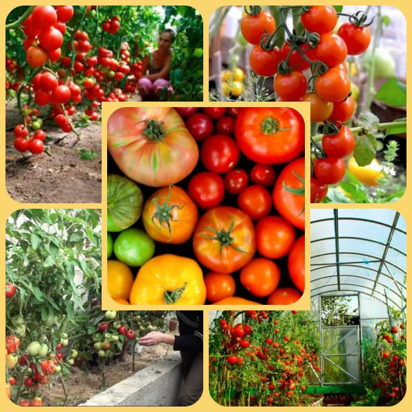 Сажаем томаты на рассаду в теплицу из поликарбоната