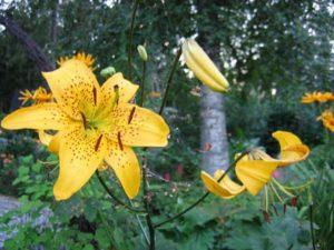 Лилии – уход осенью и подготовка к зиме